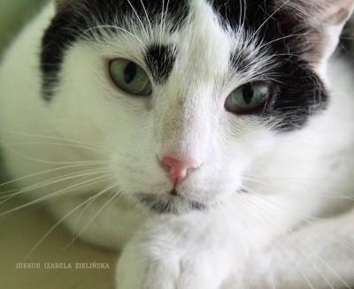Pogodny koci biało-czarnoksiężnik – Malwin