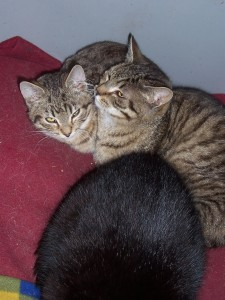 Po lewej kocurek (około 6 mies.), po prawej- kotka, Lejla (około 9 miesięcy). Oswojone. mruczące, czerpiące przyjemność z przebywania z człowiekiem.
