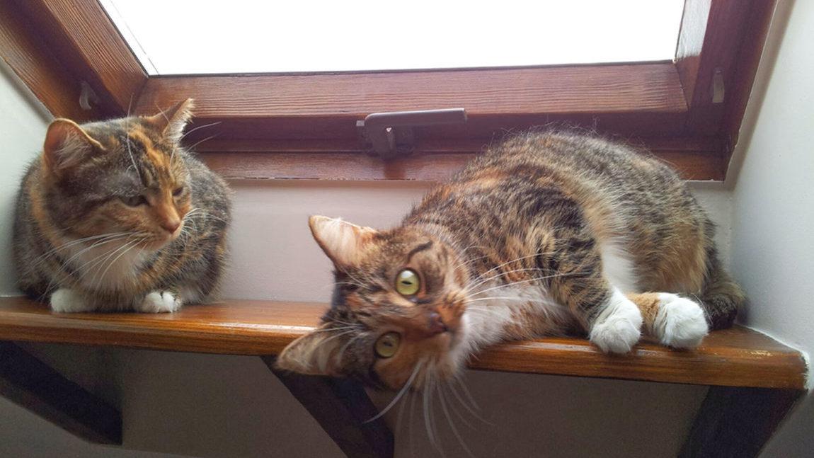 [Ogłoszenie grzecznościowe] Dwie kocie siostry