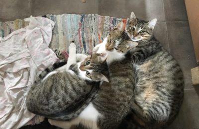 [Ogłoszenie grzecznościowe] Trzy kotki szukają domu